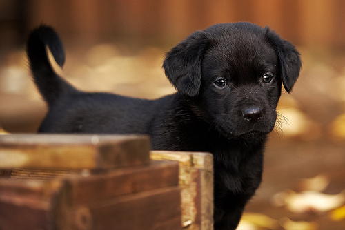 adorable, aww, black, cute, dog