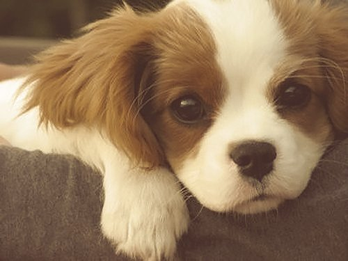 adorable, awwwwh, cute, dog, puppy, puppy dog eyes