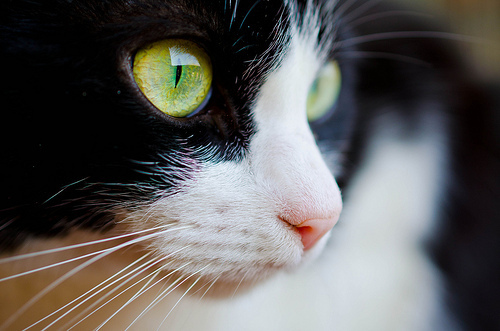 adorable, beautiful, black, black and white, cat