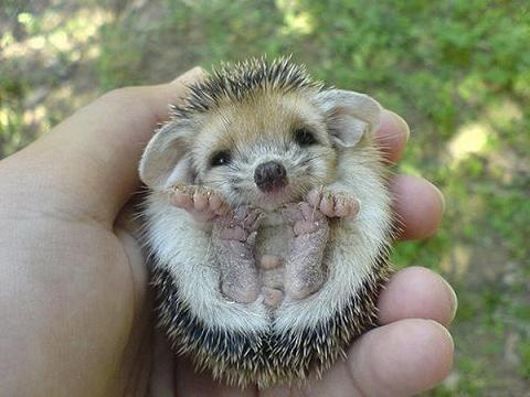 adorable, cute, hedgehog, little, nature