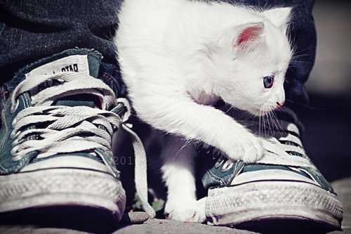 all star, animal, art, awesome, blue, cat, colors, cool, cute, eyes, kitten, kittens, kitty, love, photo, photography, shoes, sweet, white