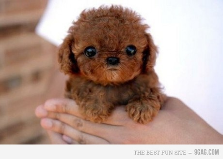 <3, animal, aww, brown, cute, dog, fuzzy, little, little chewbacca, little puppy, love, puppy, sweet