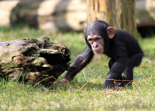 animal, animals, baby, chimp, chimpanzee