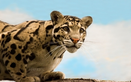 animal, animals, beauty, cat, clouded leopard