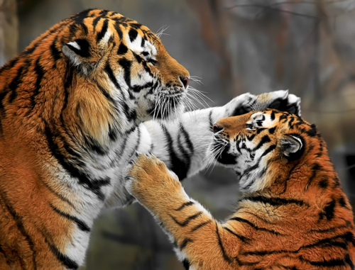 animal, animals, big cat, cub, cute, nature, playing, pretty, tiger, tigers, wildlife