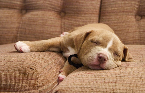 animal, bulldog, couch, cute, dog