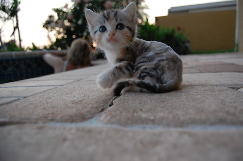 animal, cat, cute, furry, kitten