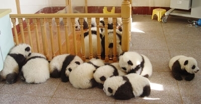 baby, baby pandas, crib, cute, fluffy