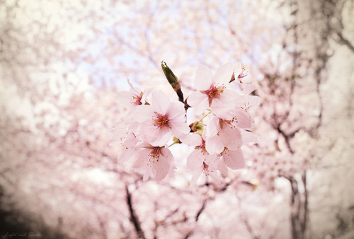 blossom, cute, flower, flowers, photography, pink, pretty, season, tree, white