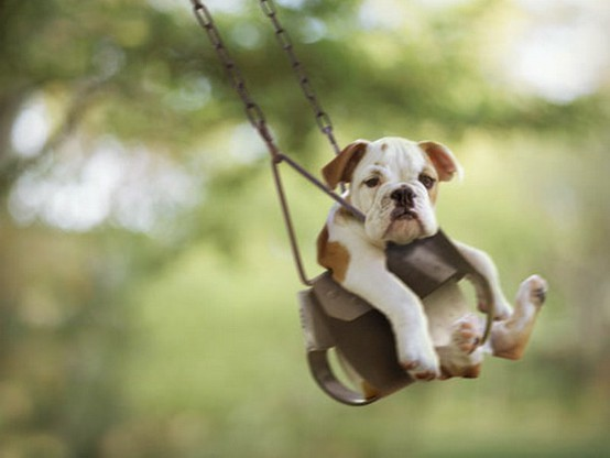 bulldog, cute, puppy, swing