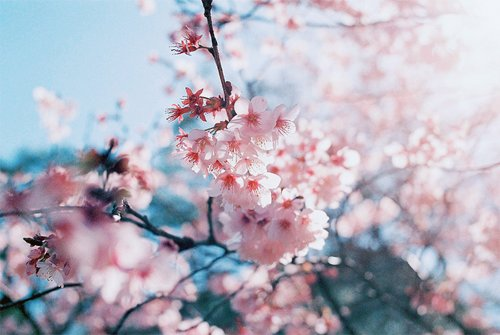 cherry blossom, cherry blossoms, floral, flower, japan, japanese, nature