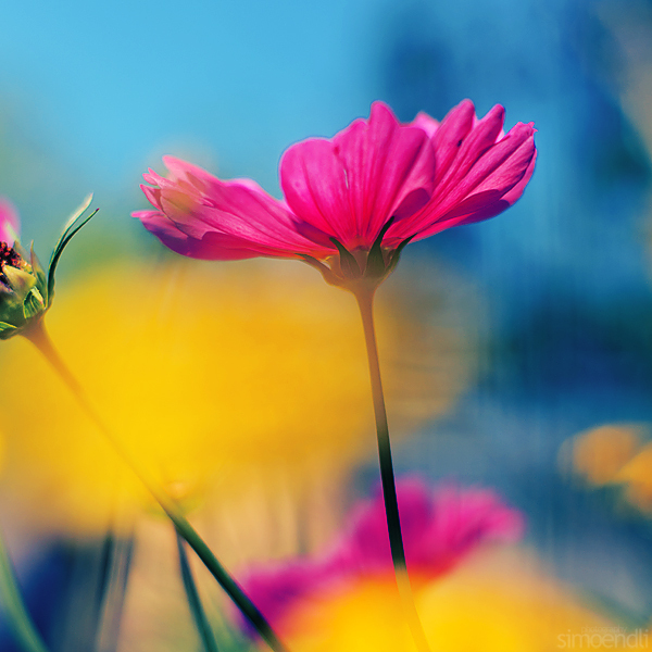 colorful, flower, photography, pink