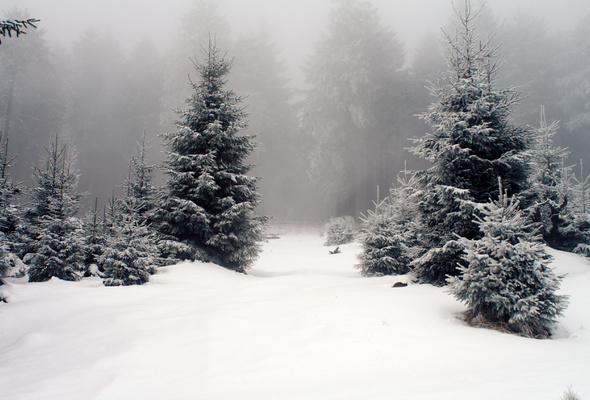 fog, forest, snow, tree, trees